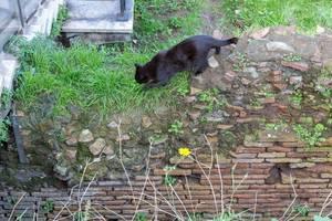 Eine schwarze Katze auf der Jagd nach Mäusen in den Largo di Torre Argentina Ruinen