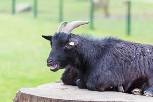 Eine schwarze Ziege meckert