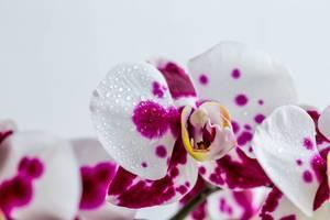 Eine weiße Orchidee mit violetten Punkten