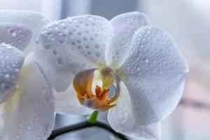 Eine weiße Orchideen Blüte mit Wassertropfen