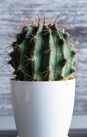 """Eingetopfter Kaktus """"Ferocactus"""" in einem hohen, weißen Blumenkübel"""