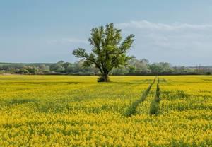 Einsamer Baum in einem gelben Rapsfeld