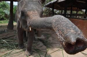 Elefant greift mit dem Rüssel nach der Kamera
