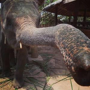 Elefant in Thailand #kohsamui #thailand #elephants