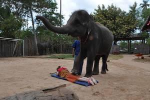 Elefant massiert eine Touristin