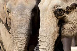 Elefantenpaar / Elephants Couple
