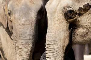 Elefantenpaar / Elephants Couple