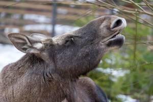 Elk / Moose