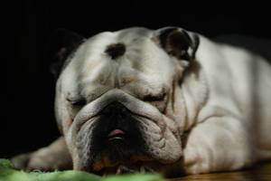 English Bulldog sleeping on the floor