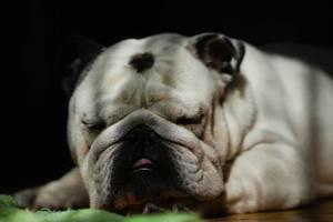 English Bulldog sleeping on the floor