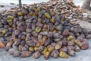 Ernte auf der Kokosnussplantage am weißen Sandstrand Anse L
