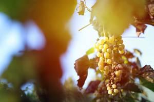 Erntezeit: Reife Trauben im Weinberg mit Sonnenschein