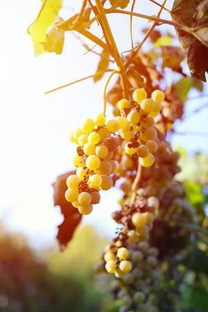 Erntezeit: Sonne scheint auf einige Trauben