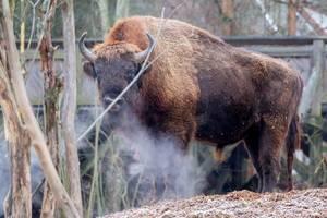 Europäischer Bison im Skansen-Zoo - Stockholm, Schweden