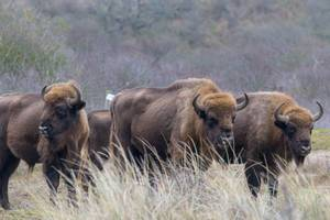 European bison stand peacefully side by side in the Zuid-Kennemerland National Park at Zandvoort, the Netherlands