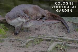 """European otter lying vigilantly on a wet stone, next to picture title """"Cologne Zoological Garden"""""""
