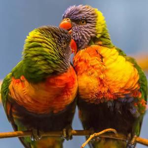 Exotische Vögel in bunten Farben küssen sich