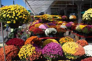 Fall Flowers at the Farmer Market