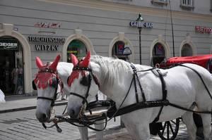 Fiaker mit weißen Pferden vor dem Stephansdom in Wien