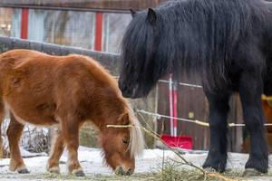 Fjord horse (Norwegisches Fjordpferd)