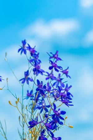 Flowers Larkspur field against the blue sky and clouds (Flip 2019)