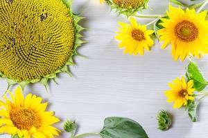 Frame with blooming young and Mature sunflowers on white wooden background (Flip 2019)
