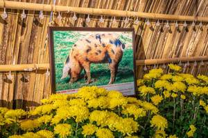 Framed Photo of a Pig at the Tet Flower Street in Saigon
