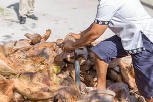 Frau erntet und knackt Kokosnüsse in Handarbeit am Strand Anse Union auf den Seychellen