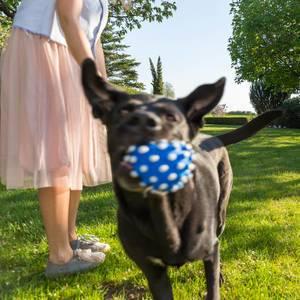 Frau im hellen Rock steht im grünen Gras und spielt mit einem Labrador Retriever, der mit einem blau-weißen Ball in den Mund rennt