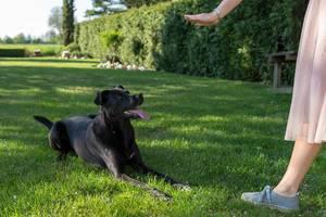"""Frauchen trainiert mit ihrem schwarzen Labradorhund das Kommando """"Platz"""" im grünen Gras"""