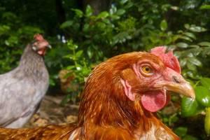 Free-range hens at an organic farm  Flip 2019