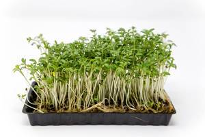 Fresh garden cress with stems and roots grows in a plastik tray, isolated in front of white background
