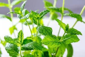 Fresh green mint Bush close up