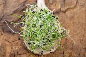 Fresh micro greens sprouts of onion in wooden spoon