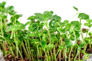 Fresh-young-micro-greens-radish-growing-in-the-ground-close-up.jpg