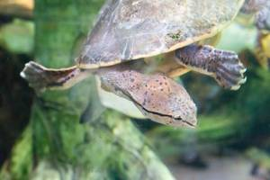 Freshwater turtle at Shedd Aquarium