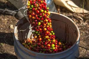 Frische Kaffeebohnen werden nach Ernte von Sack in Tonne umgefüllt