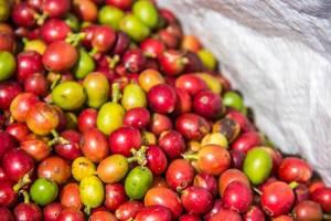 Frische, rote und grüne Kaffeebohnen in weißem Sack