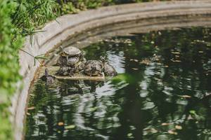 Funny Turtles Sitting On Fontaine