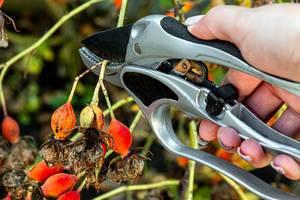 Gartenarbeit: Mann schneidet eine Rose mit einer Gartenschere in Nahaufnahme