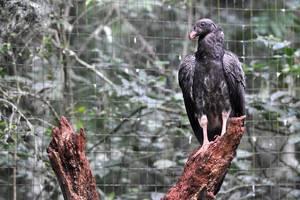 Geier(?) im Parque das Aves in Iguacu
