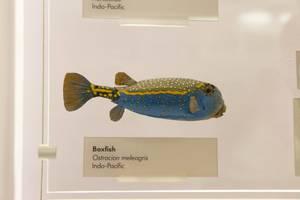 Gelbbrauner Kofferfisch / Boxfish
