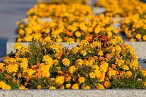 Gelbe Blumen entlang einer Straße in Moskau