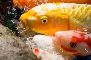 Gelbe Koi-Fische, die Kopf aus dem Wasser heraus haften
