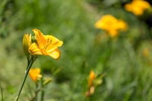 Gelbe Lilie in einem Park