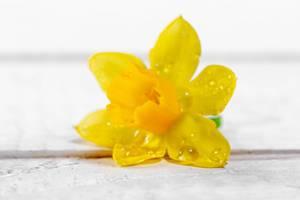 Gelbe Narzisse auf weißem hölzernem Hintergrund