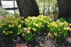 Gelbe Narzisse im Kölner Zoo