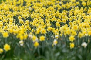 Gelbe Narzissen so weit das Auge reicht. Verschwommener Vordergrund und Hintergrund