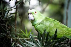 Gelbnackenamazone (Amazona auropalliata)
