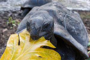 Gigantic turtle with dark shell eats yellow leaf in Seychelles